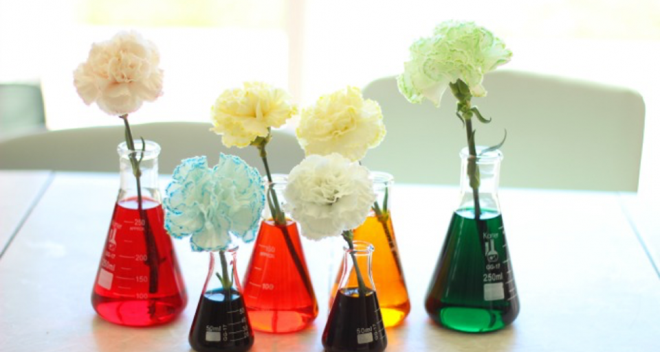 Color changing carnations experiment