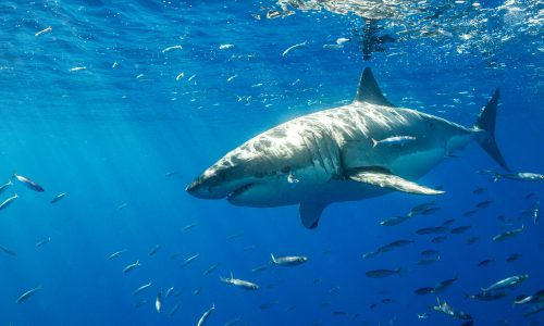 Learn how sharks help the Earth thrive with Little Passports