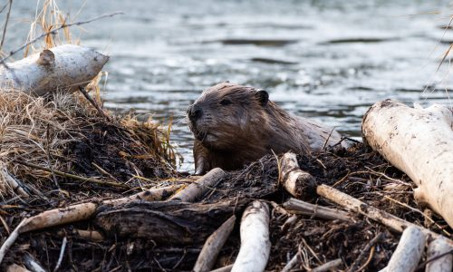Learn how beavers help the Earth thrive with Little Passports