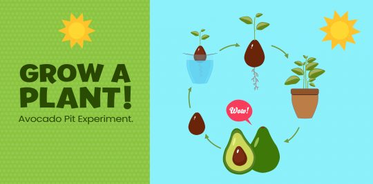 Grow an avocado seed with this experiment from Little Passports